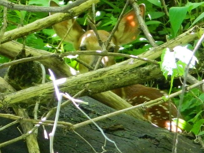 Fawn under cover
