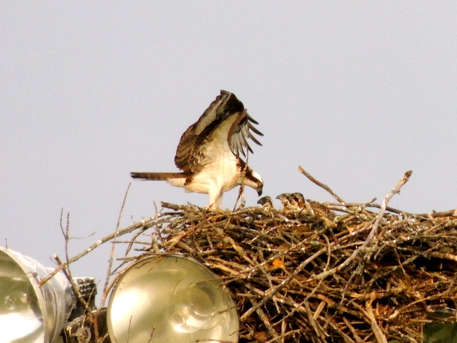 Osprey Triplets at the Ball Park Port Perry, Ontario Canada