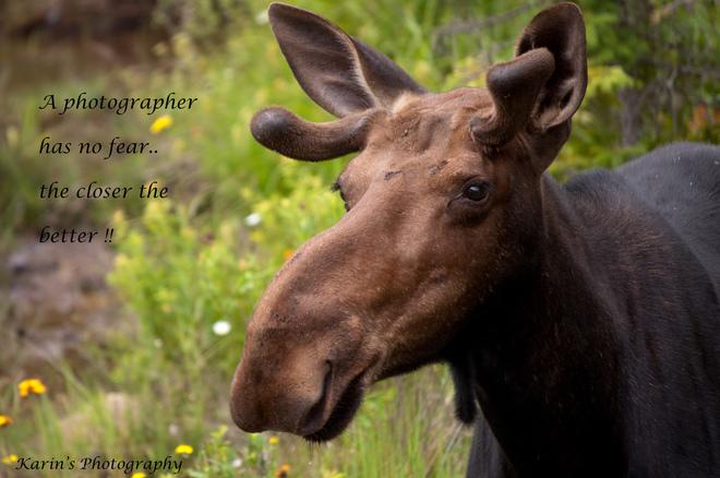 Young moose Algonquin, Ontario Canada