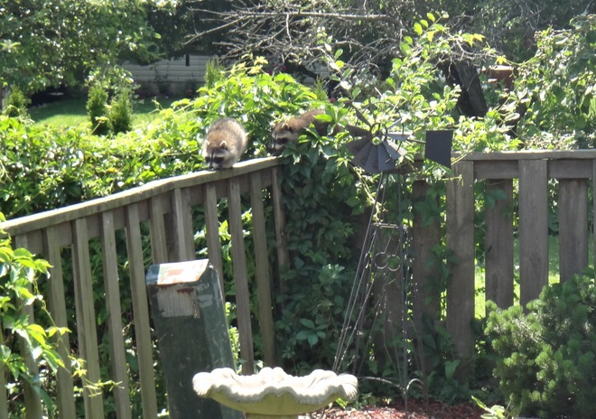 Racoons London, Ontario Canada