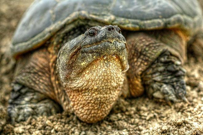 Common Snapping Turtle Dryden, Ontario Canada