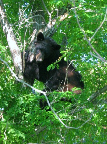 Bear trying to sleep in the tree, almost falling out. :O Langruth, Manitoba Canada