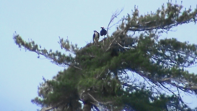 Mom Bald Eagle With Baby Stratford, Ontario Canada