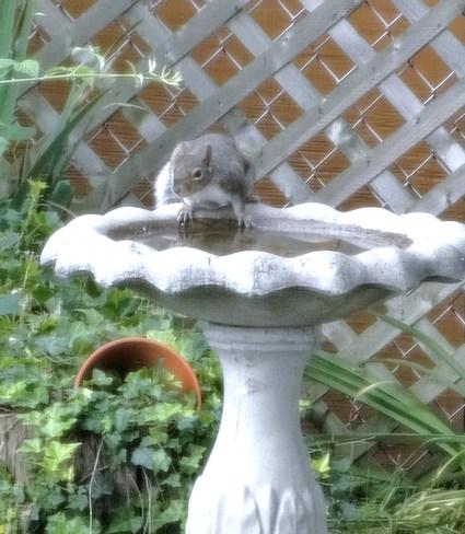 Tree Rat in my Birdbath London, Ontario Canada