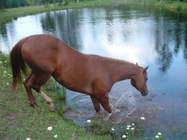 horse taking a swim in the pond Gagetown, New Brunswick Canada