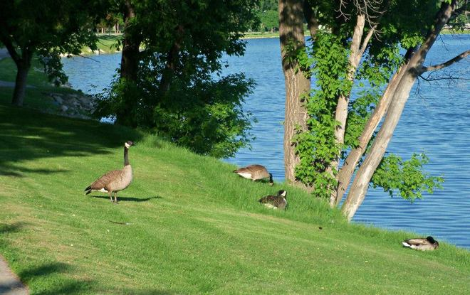 The geese enjoying the hot weather Portage La Prairie, Manitoba Canada