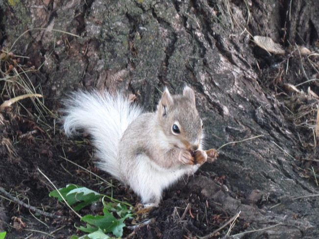 red squirrel with a white tail