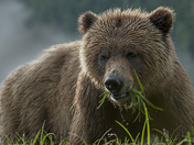 Grizzly Eating Sedge Grass