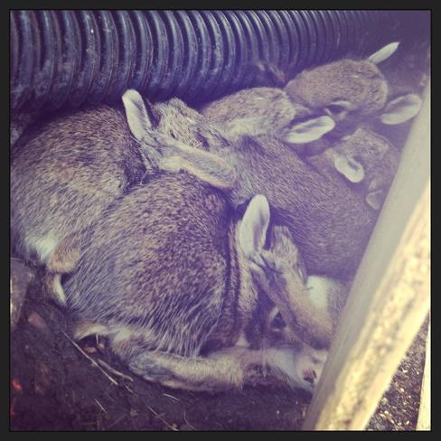 lots of bunnies! Winnipeg, Manitoba Canada