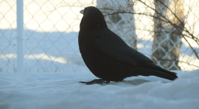 The Crow in the Snow Moncton, New Brunswick Canada