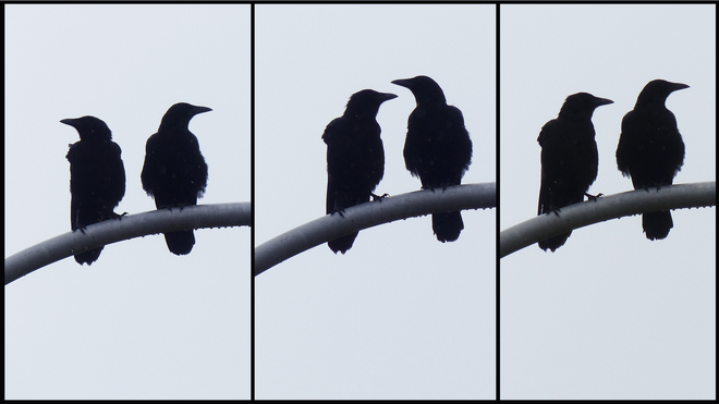 Esten Rd., two crows composite on top of a lamp post. Elliot Lake, Ontario Canada
