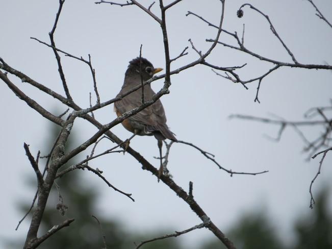 a rumpled looking robin Rutherglen, Ontario Canada
