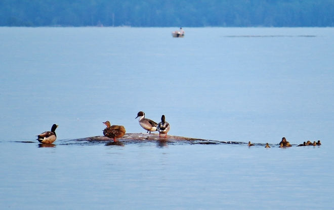 A Northern Pintail visits 'duck rock'. North Bay, Ontario Canada
