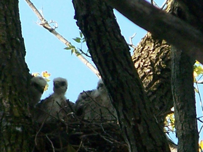 # baby Falcons