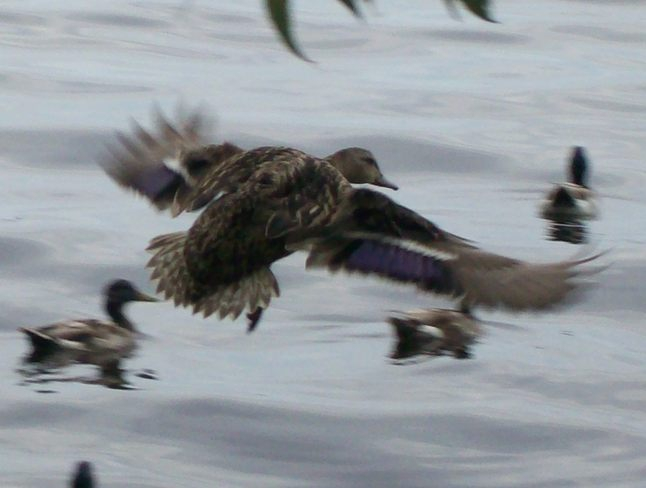 Duck taking a fly and leap on the Bay of Quinte Belleville, Ontario Canada