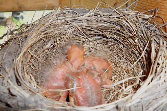 Day 4: baby robins