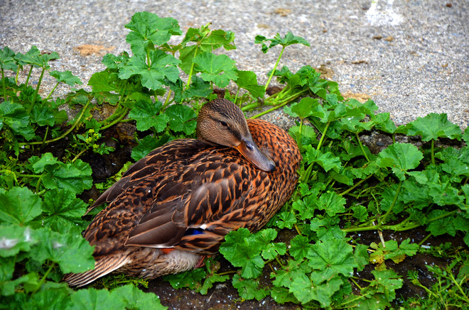 Do I look like a Duck Salad Vancouver, British Columbia Canada