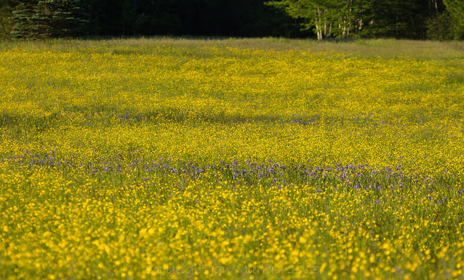Field of Yellow and Purple Wallace, Nova Scotia Canada