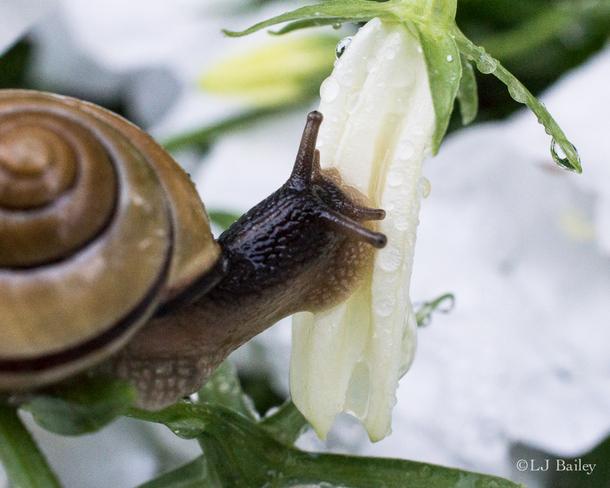 Snail vs Flower Notre-Dame-de-l'Île-Perrot, Quebec Canada