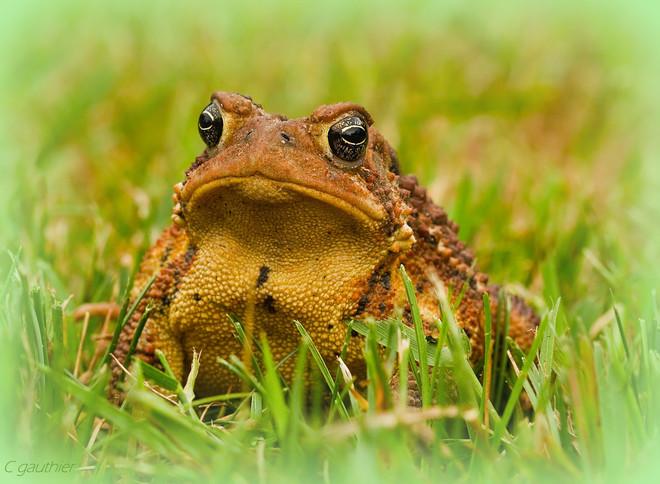 Garden Toad Magnetawan, Ontario Canada