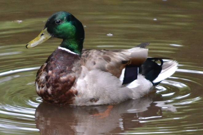 just like a decoy Burlington, Ontario Canada