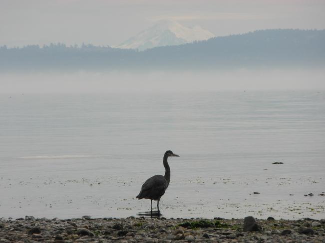 Heron on the beach Victoria, British Columbia Canada