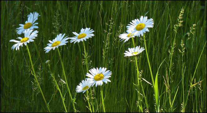 Esten Rd., morning light on daisies. Elliot Lake, Ontario Canada