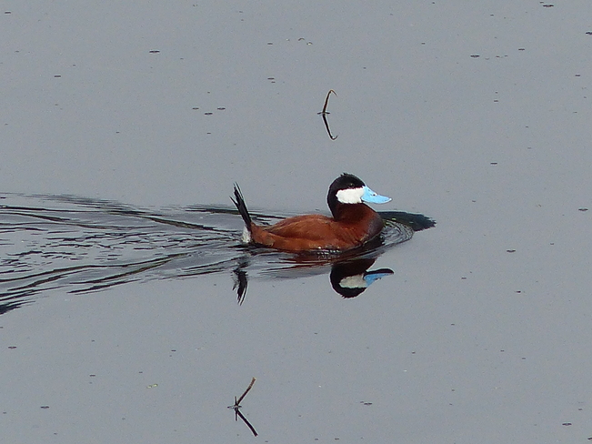 Ruddy duck Grand Forks, British Columbia Canada