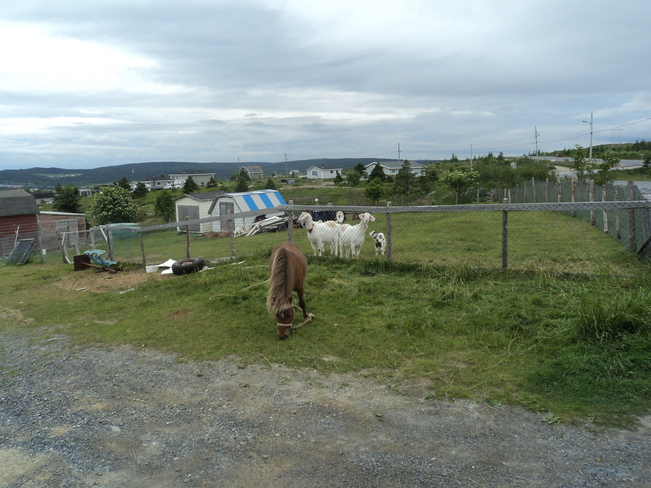 The Little horse with its friends the Goats and Kids Carbonear, Newfoundland and Labrador Canada