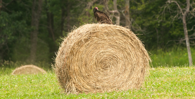 Vulture on The Hay Bale