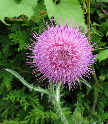 Large Thistle Bloom Guelph, Ontario Canada