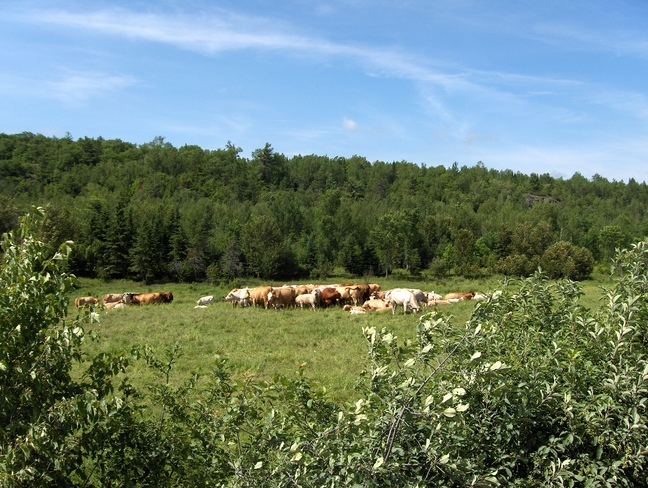 Cows In The Field Eating Massey, Ontario Canada