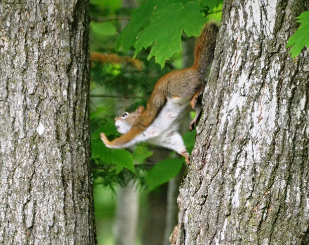 Red squirrel jumping from tree to tree! Cantley, Quebec Canada