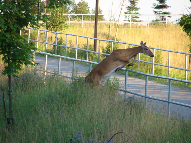 deer jump North Bay, Ontario Canada