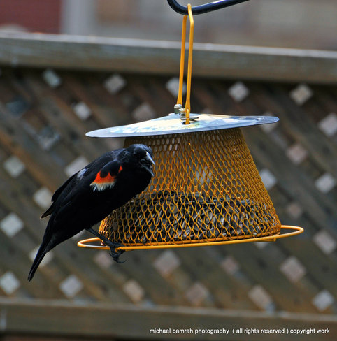 Hungry RedWinged Blackbird Whitby, Ontario Canada
