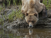 4b. Grizzly   Bear  Drinking from the Estuary