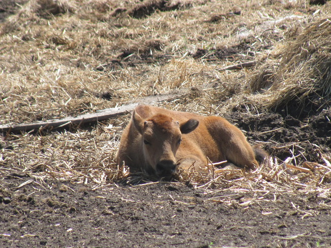Baby Bison Haywood, Manitoba Canada