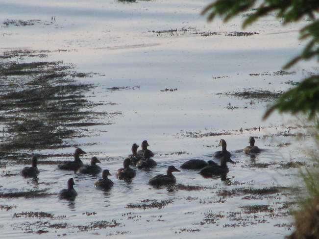 Images of Ducks Maces Bay, New Brunswick Canada