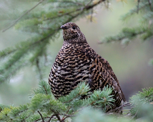 how to cook spruce grouse