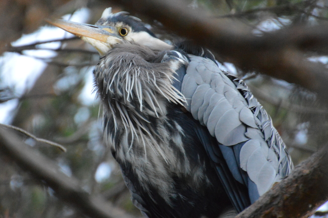 Heron Victoria, British Columbia Canada
