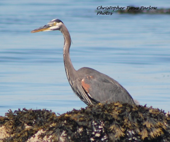 Great Blue Heron Along Seawall Vancouver, British Columbia Canada