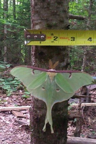 late Luna moth Gooderham, Ontario Canada