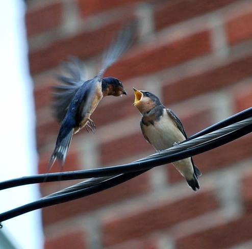 barn swallows Grand Valley, Ontario Canada