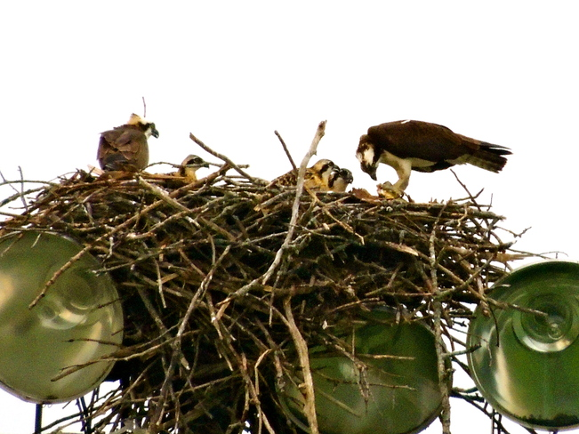 Ball Park Osprey First Family Portrait Port Perry, Ontario Canada