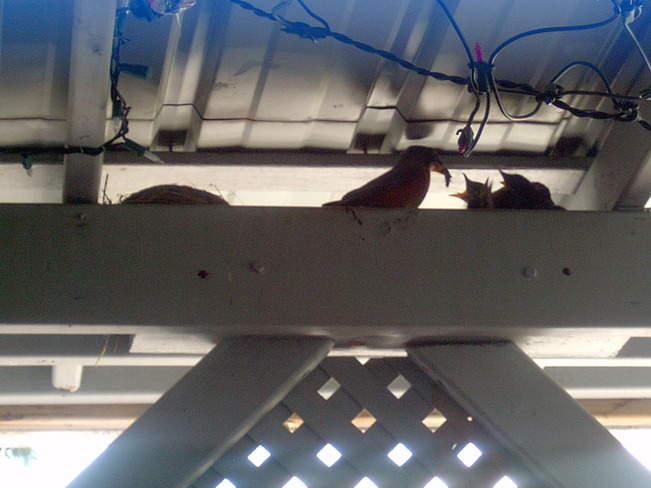 Robin & babies on my deck Dryden, Ontario Canada