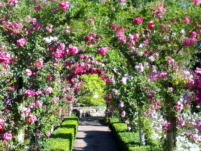 A canopy of roses at Butchart Gardens Victoria, British Columbia Canada