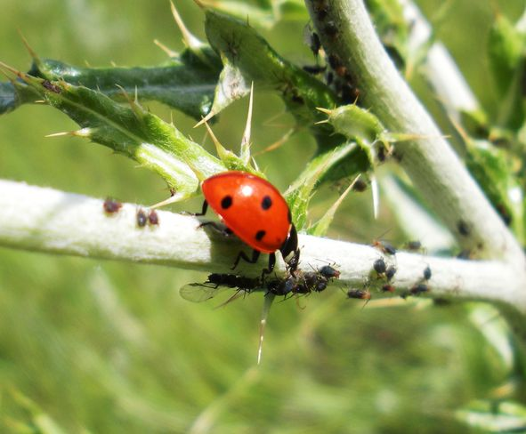 lady bug feasting on aphids Brooks, Alberta Canada