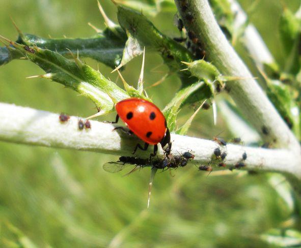 lady bug feasting on aphids Brooks, Alberta Canada