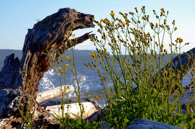 Lion like Driftwood on Shore West Vancouver, British Columbia Canada