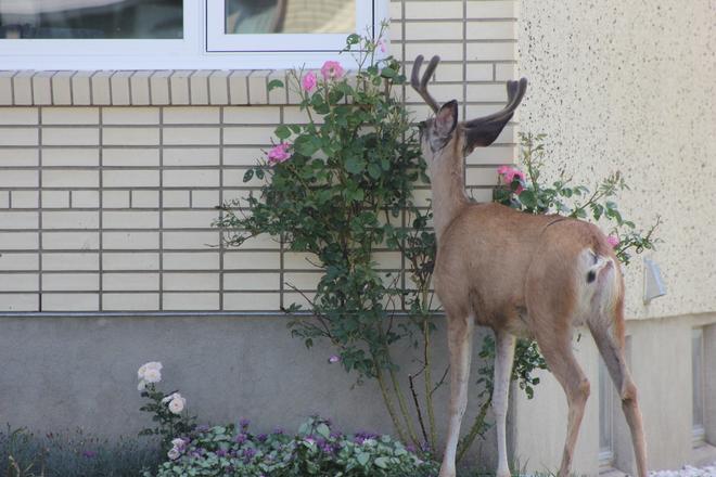 Yummy Roses! Medicine Hat, Alberta Canada